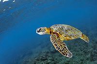 Green sea turtle, Chelonia mydas, Ko'olina, Oahu, Hawaii, North Pacific Ocean