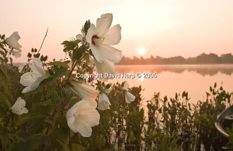 Marsh hibiscus along the banks of the Nanticoke River