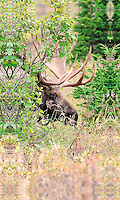 A bull moose peers out from behind a bush near Powerline Pass in Anchorage, Alaska, during the fall rut.