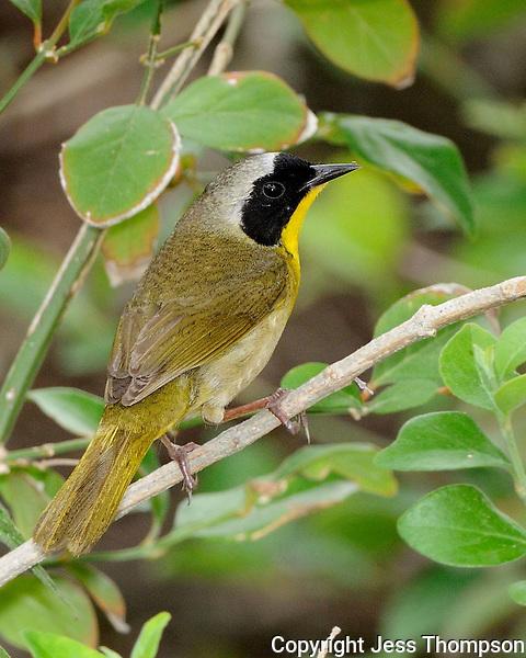 Common Yellowthroat, South Padre Island, Texas