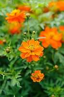 Cosmos Sulphureus 'Cosmic Orange'