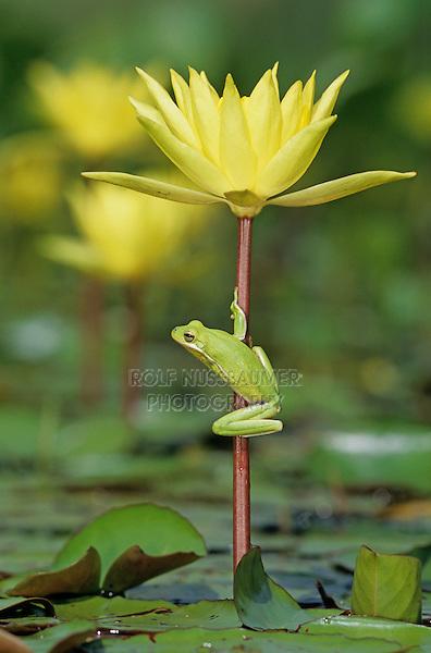 Green Treefrog, Hyla cinerea, adult on yellow waterlily, Welder Wildlife Refuge, Sinton, Texas, USA