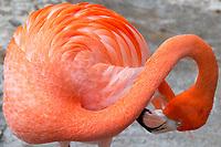 Flamingo, Corpus Christi Aquarium