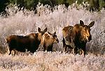 Moose cow and calves, Grand Teton National Park, Wyoming, USA