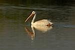White Pelican at Sunset, American White Pelican, Sepulveda Wildlife Refuge, Southern California