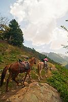 Local guide leading horses up trail, Gangabal Lake region of Kashmiri Himalayas, India.
