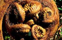 Close up of a native indigenous hapuu fern Scientific name: Cibotium splendens