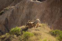 Badlands Love - Big Horn and sweet baby - Badlands NP, South Dakota
