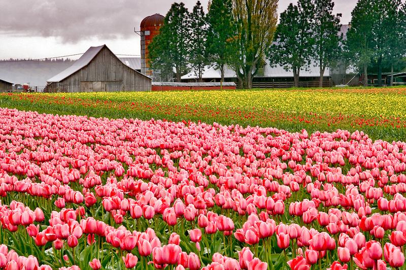 Tulip fields and barn. Tulip Town. Mt. Vernon. Washington