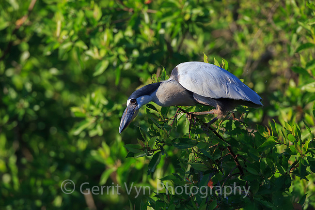 Boat-billed Heron (Cochlearius cochlearius) still hunting form a mangrove perch. Ria Lagartos Biosphere Reserve, Mexico. July.