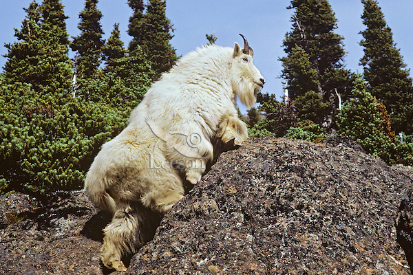 Mountian Goat Billy, Pacific Northwest. Fall.