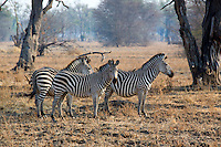 Burchell's Zebra, Equus burchellii, South Luangwa National Park, Zambia, Africa