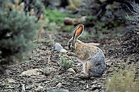 Black-tailed Jackrabbit (Lepus californicus) washing face.  Great Basin Desert of Nevada.