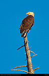 Bald Eagle at Sunrise, Silver Salmon Creek, Lake Clark National Park, Alaska