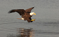 Eagle catching fish