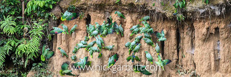 Mixed flock of Mealy Parrots (Amazona farinosa) and Blue-headed Parrots (Pionus menstruus) feeding at the wall of a clay lick (Blanquillo). Manu Biosphere Reserve, Amazonia, Peru.