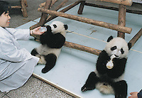 "Qi Zeng (sp) on right (with twin on left), which means seven stiches (or holes), feeds himself with a babies milk bottle.  The bouncing panda cub survived after being rejected by his mother and thrown across the cage. The new-born panda required an unprecedented operation to its abdomen requiring 7 stitches and according to the senior vet ""it is a miracle"" that he survived."