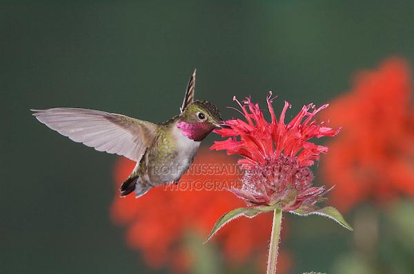 Broad-tailed Hummingbird, Selasphorus platycercus,male in flight feeding on Bee Balm (Monarda didyma),Rocky Mountain National Park, Colorado, USA, June 2007