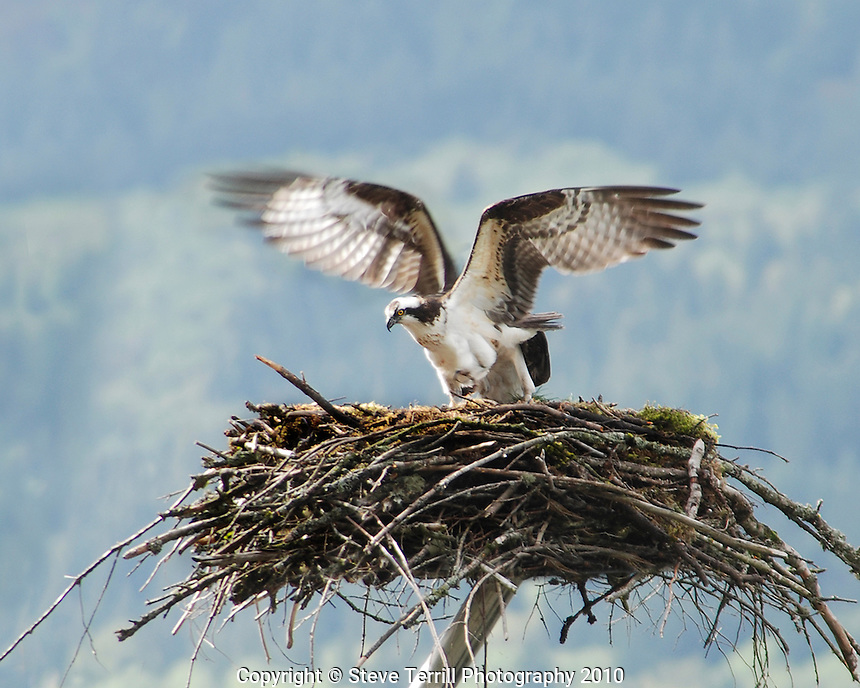 Osprey landing on nest near Multnomah Falls in Columbia River Gorge National Scenic Area, Oregon