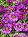 Calibrachoa Colorburst Pro Blue