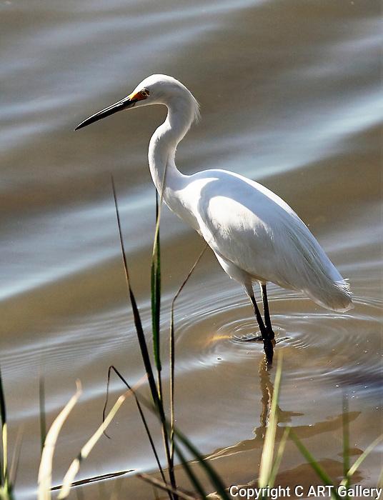 Egret at water's edge, Upper Newport Bay, CA.