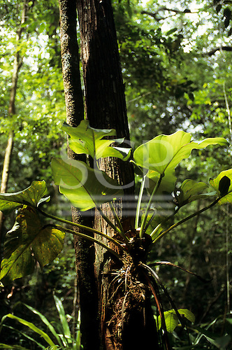 Amazon, Brazil. Saprophytic plant growing on the side of a tree in the rainforest. Amazonia.