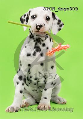 Xavier, ANIMALS, REALISTISCHE TIERE, ANIMALES REALISTICOS, dogs, photos+++++,SPCHDOGS909,#A#