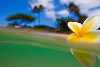 Plumeria floating in the ocean