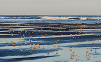 Mixed flock of shorebirds--mostly western sandpipers and dunlins--feeding along ocean at low tide, spring migration,  Washington State Pacific Coast.  Morning.