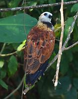 Black-collared hawk