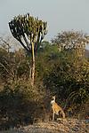 Cheetah (Acinonyx jubatus) twenty-one month old sub-adult female near Candelabra Tree (Euphorbia ingens), Kafue National Park, Zambia