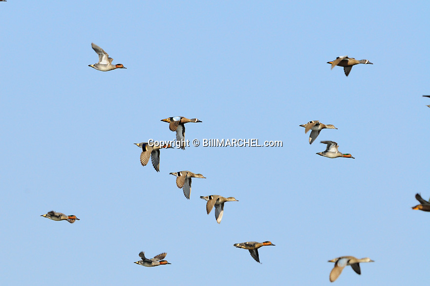 00310-016.06 Green-winged Teal flock with blue-winged teal in flight.  Action, fly, waterfowl.