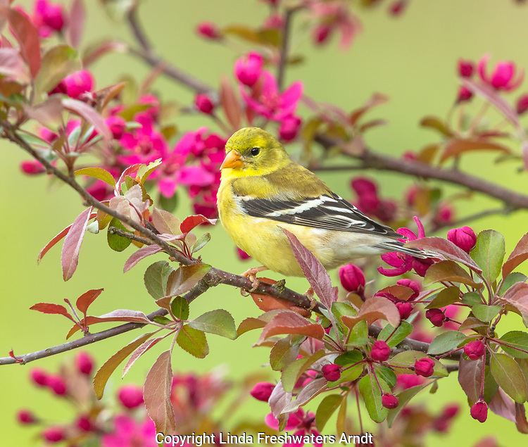 Female American goldfinch perched in a flowering crabapple tree