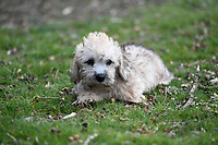 BNPS.co.uk (01202 558833)<br /> Pic: ZacharyCulpin/BNPS<br /> <br /> A Dandie Dinmont Terrier puppy<br /> <br /> Pictured:  A new litter of Dandie Dinmont Terriers, only 87 puppies were born last year. <br /> <br /> Has this breed of dog had its day?<br /> <br /> There are fears the otterhound, Britain's rarest breed of dog, is on the verge of extinction after just seven puppies were born last year.<br /> <br /> While the coronavirus lockdowns sparked record sales of puppies like Labradors and French Bulldogs, the same can not be said for some traditional British species.<br /> <br /> Chief among them is the otterhound, one of Britain's oldest breeds that dates back to the 12th century.