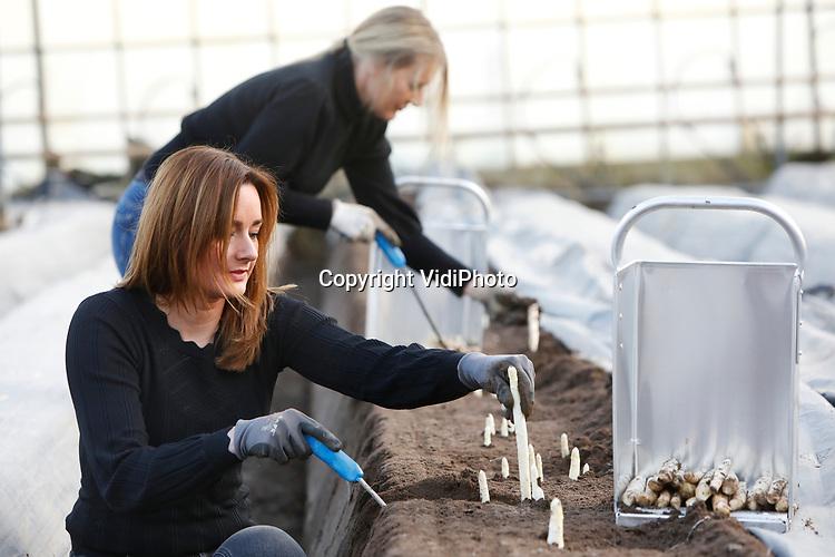 Foto: VidiPhoto<br /> <br /> VELDEN – De zussen Marjolein Teeuwen (lichtbruin haar) en Karin Vervoort-Teeuwen (blond) steken in een kassencomplex van innovator FI Trading in Velden woensdag de eerste Nederlandse asperges. Nog niet eerder zijn er zo vroeg in het jaar al asperges beschikbaar. Het Limburgse bedrijf heeft een nieuw soort plastic met drie lagen ontwikkeld waardoor de warmte langer wordt vastgehouden. Onder de bedden met de aspergeplanten zijn namelijk verwarmingsbuizen aangebracht. FI Trading is de eerste en vooralsnog enige met deze gepatenteerde plastic folie. Woordvoerder Math Teeuwen verwacht dit jaar een enorme run op asperges, ondanks dat de restaurants nog gesloten zijn. Asperges bevatten namelijk de vitamines B, C, E en K, zijn weerstandverhogend en zitten vol met antioxidanten. Bovendien bevatten asperges de immuunversterkende stof glutathion, wat naar verluid meer bescherming biedt tegen corona.