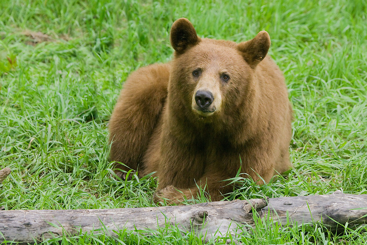 Cinnamon Black Bear mother lying by a log