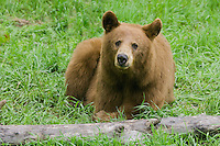 Cinnamon Black Bear mother lying by a log