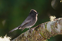 Black Phoebe, Sayornis nigricans, adult perched, Bosque de Paz, Central Valley, Costa Rica, Central America