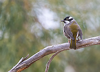 The strong-billed honeyeater is endemic to Tasmania.