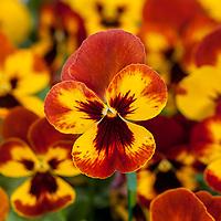 Pansy -Freefall™ XL Fire Viola x wittrockiana; Syngenta Flowers