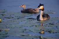 Great-crested Grebe, Podiceps cristatus, adult with young, Oberaegeri, Switzerland, July 1995