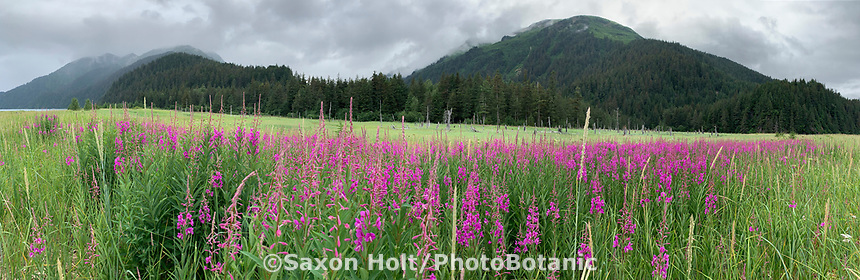 Fireweed (Chamerion angustifolium) flowering in wet meadow  near Caine's Head Resurrection Bay on Kenai Peninsula, Pacific Horticulture tour of Alaska, panorama