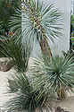 Yucca rostrata and Yucca germiniflora, Arid Side, Juxtaposition Garden, designed by Jack Dunckley, Silver Gilt medal winner, RHS Chelsea Flower Show 2013.