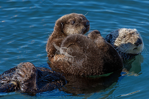 Southern Sea Otter mom with pup riding on her chest.  Central California coast.