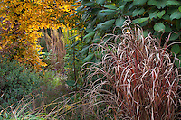 Ornamental grass (Miscanthus) in fall color in front of border with foliage of Hydrangea aspera in Gary Ratway garden