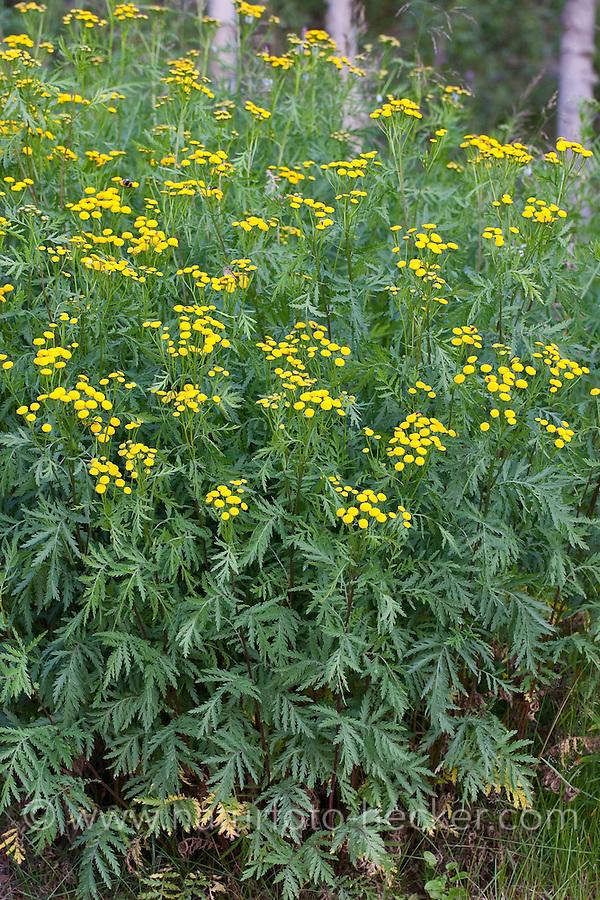 Rainfarn, Rain-Farn, Tanacetum vulgare, syn. Chrysanthemum vulgare, Tansy