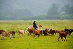 Herding cattle to new pasture, Pasagshak Ranch, Kodiak Island, southwest Alaska
