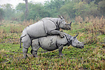 Male and female Great One-horned Rhinoceros (Rhinoceros unicornis) mating . Kaziranga National Park, Assam, India.