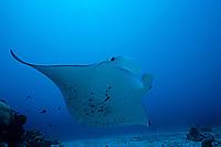 reef manta ray, Manta alfredi, Palau, Belau, Pacific Ocean