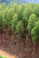 Viveiro de mudas de eucalipto,  gênero de arbustos ou árvores de grande porte, da família das mirtáceas da Jarí, usado  para plantio de extensas áreas de espécie para posterior produção de de papel e celulose  (grupo Orsa).<br />A fábrica em local próximo,  onde é beneficiada a madeira, foi construída em cima de uma balsa e trazida por empurradores do Japão no final da década de 70 e instalada as margens do rio Jarí, fronteira do Pará com o Amapá.<br />Almeirim, Pará, Brasil.<br />Foto Paulo Santos/Interfoto<br />03/2005.